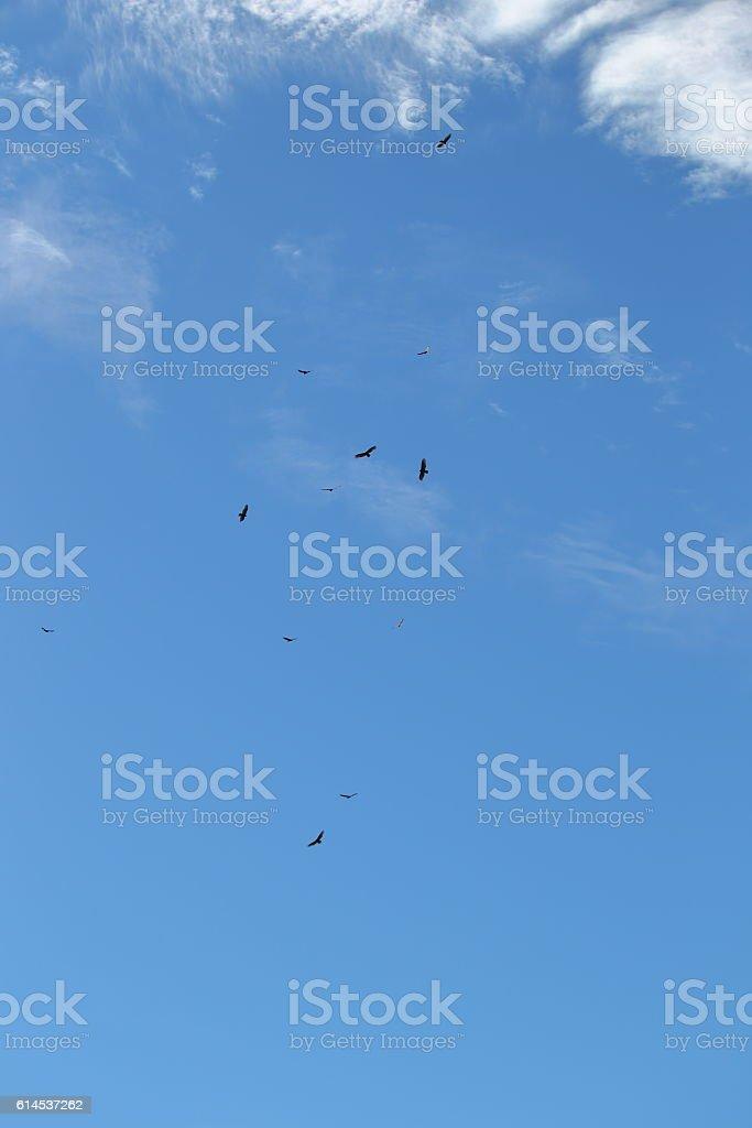Circling Turkey Vultures (Cathartes aura) stock photo