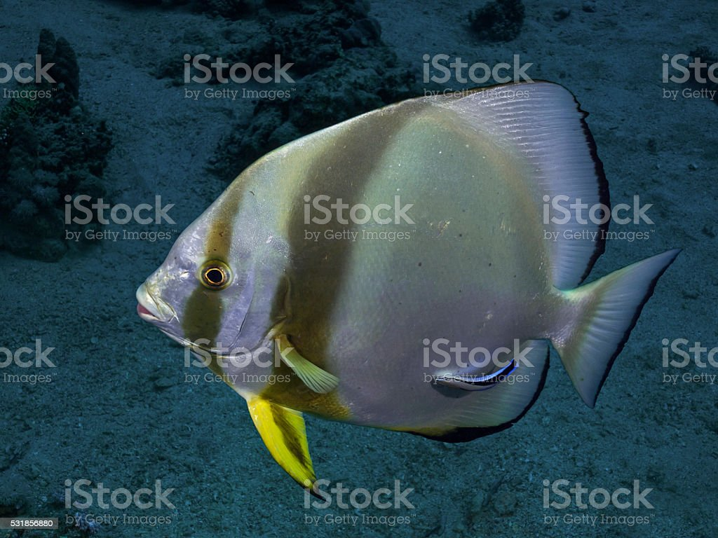 Circular batfish (Platax orbicularis) stock photo