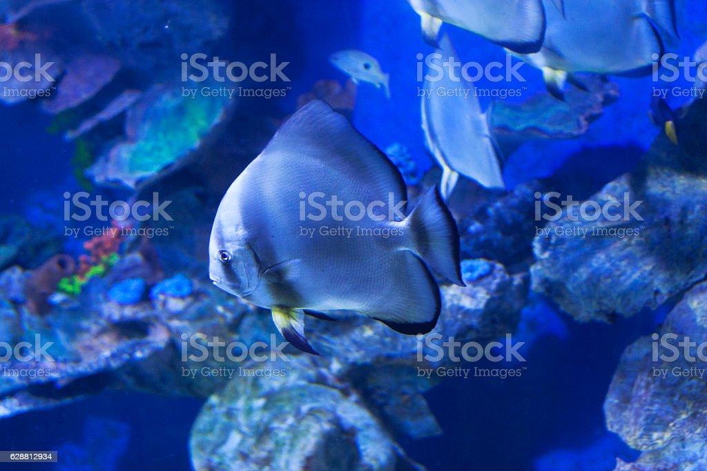 Circular batfish Platax orbicularis in water sea photo. stock photo