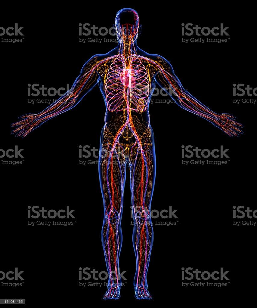 Circulatory and Lumpatic Systems royalty-free stock photo