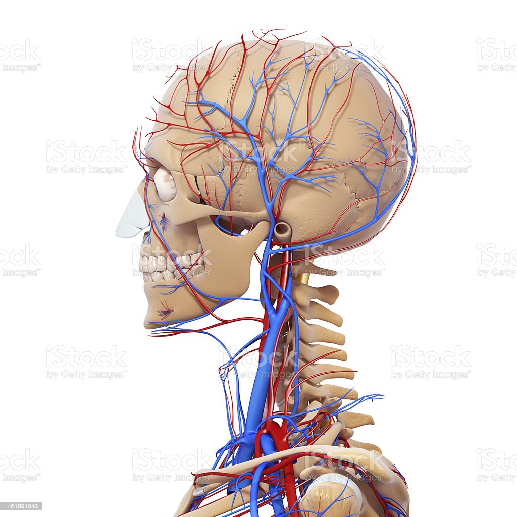 circulatory and nervous system stock photo