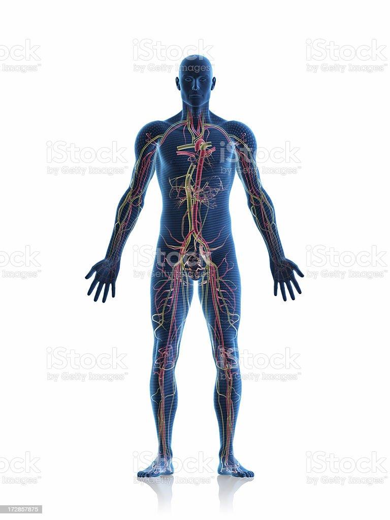Circulatory system royalty-free stock photo