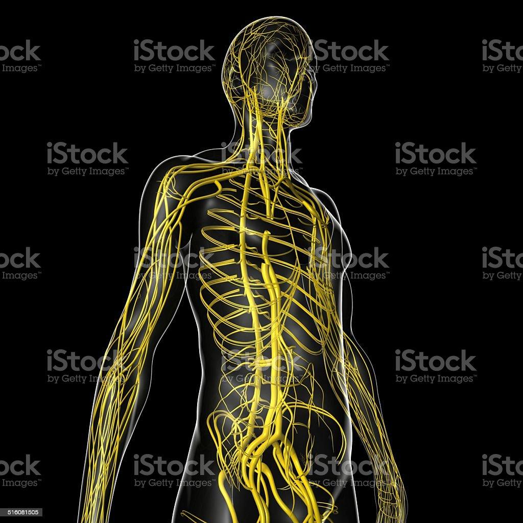 Circulatory system stock photo