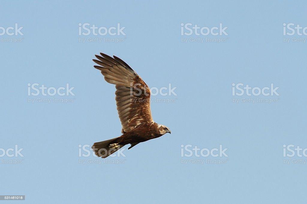 Circus aeruginosus-marsh harrier in flight stock photo