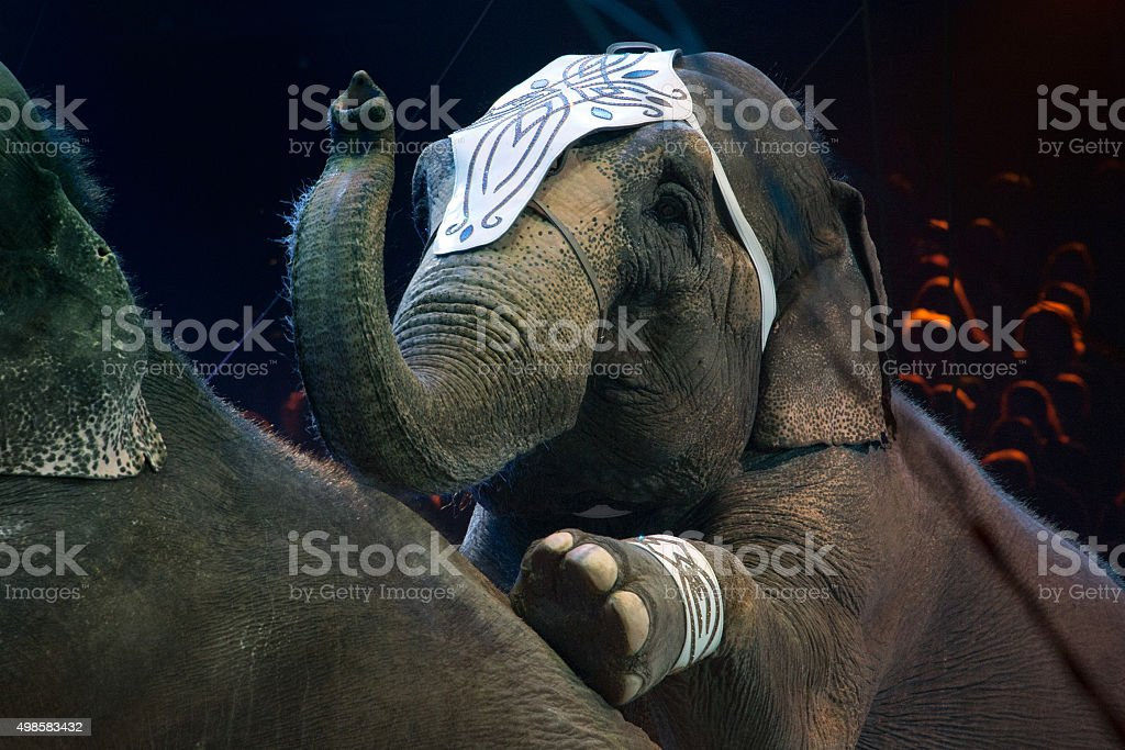 circus elephant close up detail stock photo