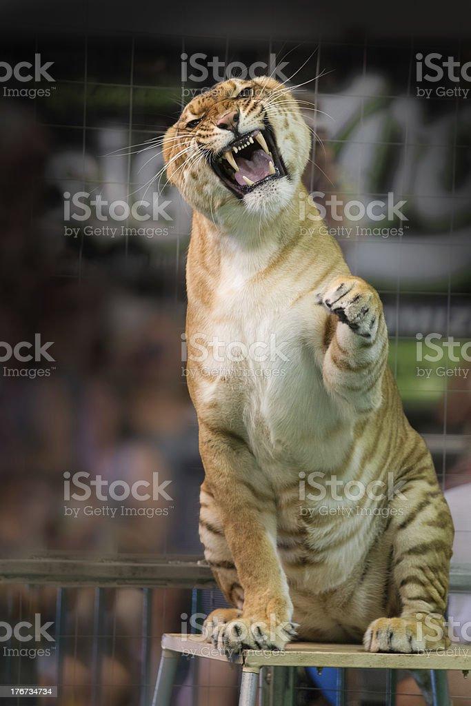Circus tiger snarling at camera royalty-free stock photo