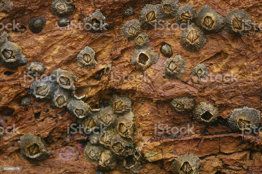 Cirripeds on a rocky surface stock photo