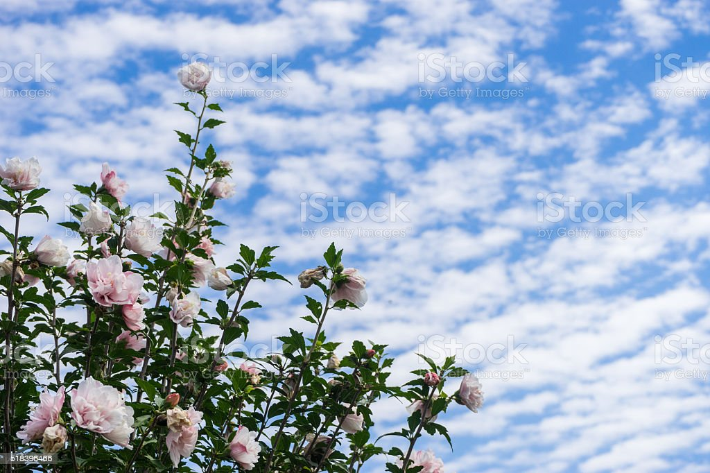 Cirrocumulus cirrocumulus cloud and flower stock photo