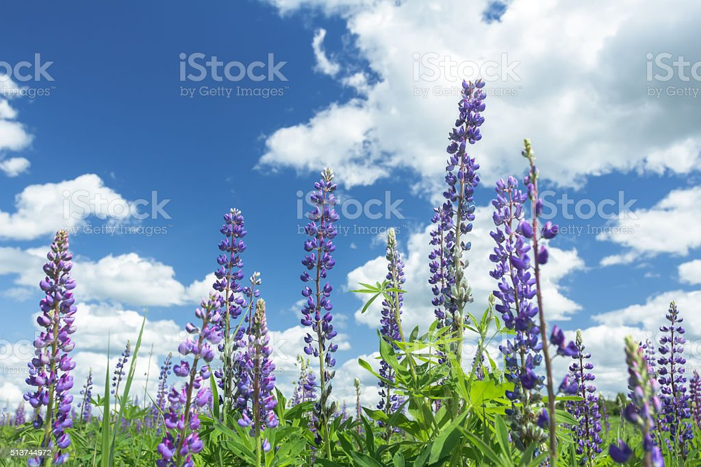 Cirrus cloudy sky above lilac color lupine flowers stock photo