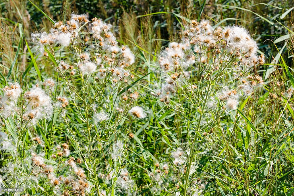Cirsium Arvense with Pappus stock photo