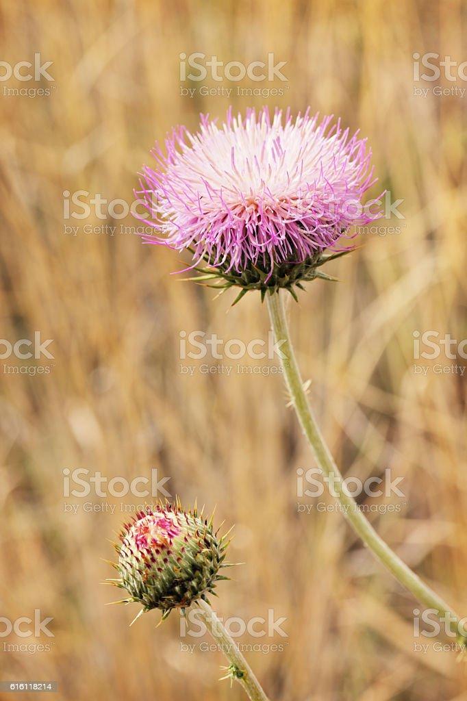 Cirsium neomexicanum Thistle Plant Flower Bud stock photo
