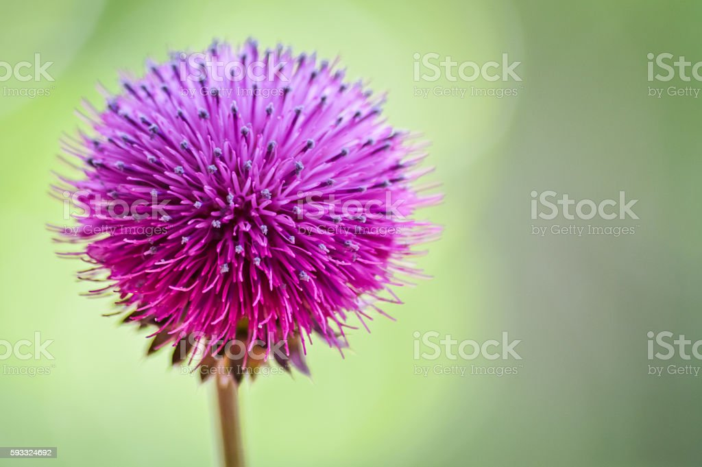 Cirsium pannonicum (Pannonian Thistle) front view macro stock photo