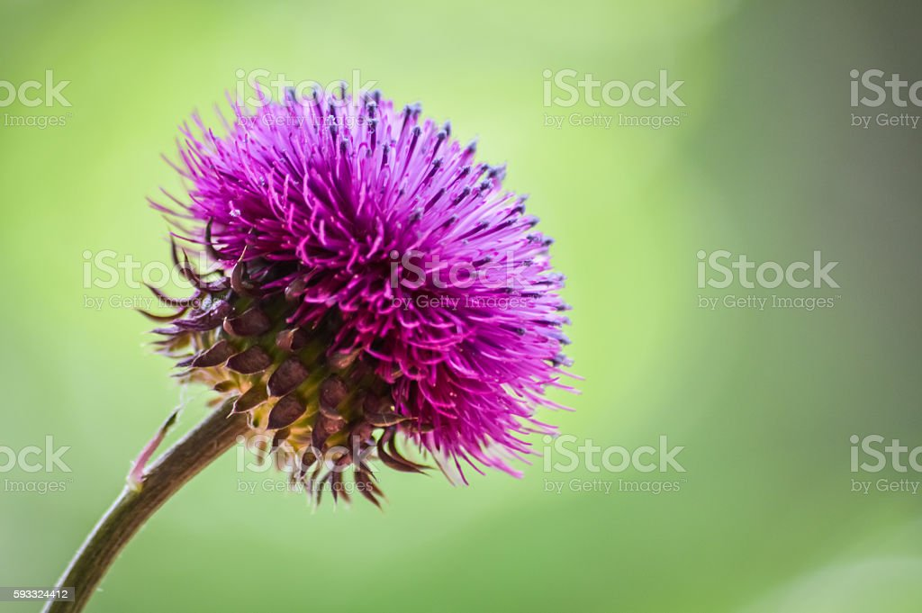 Cirsium pannonicum (Pannonian Thistle) profile macro stock photo