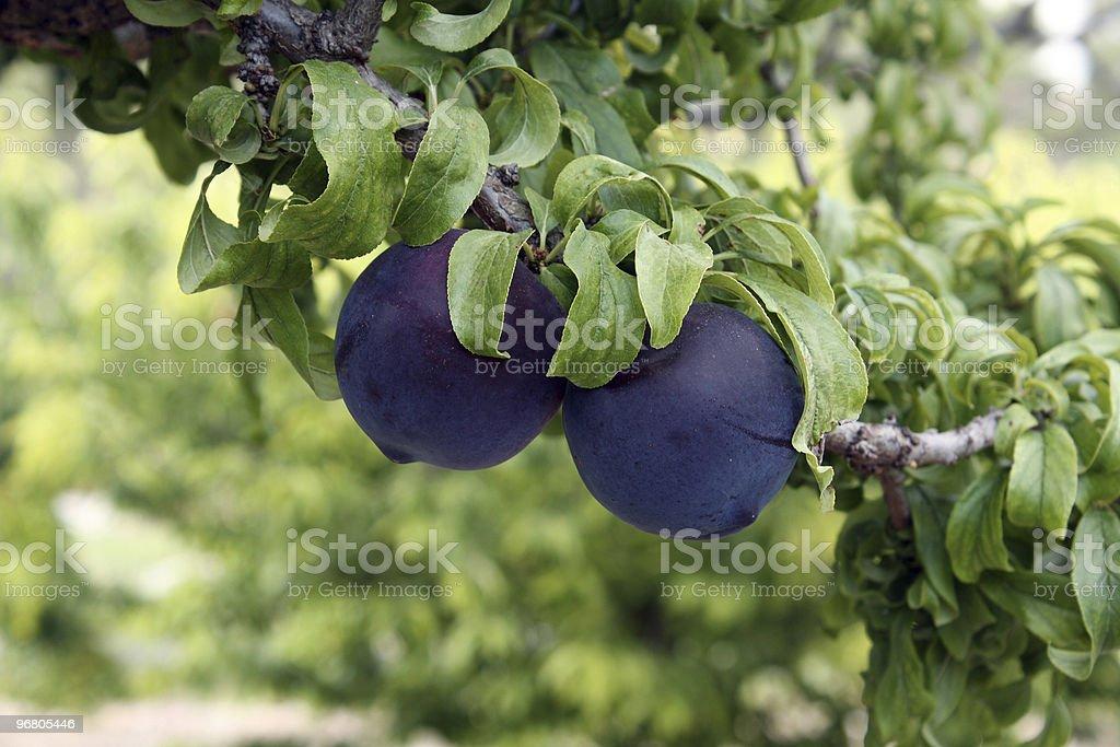 Ciruelas negras en la rama del árbol stock photo