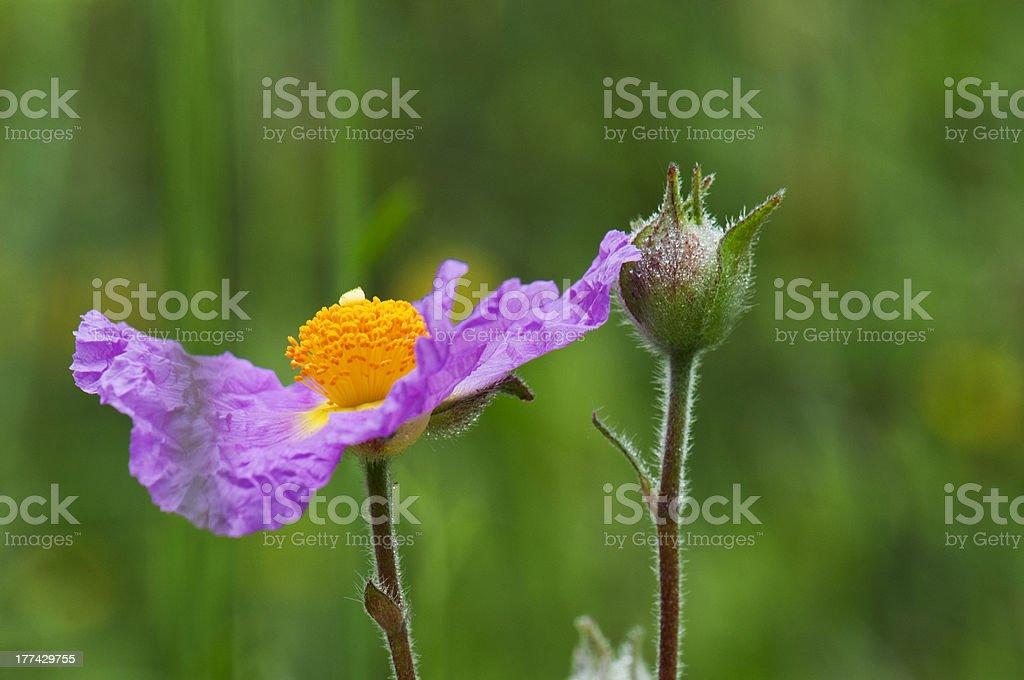 Cistus incanus  a wild flower purple stock photo