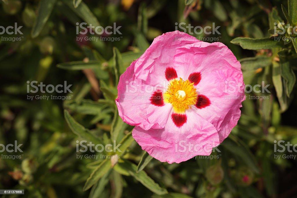 Cistus purpureus Orchid Rockrose Cistaceae Flower stock photo