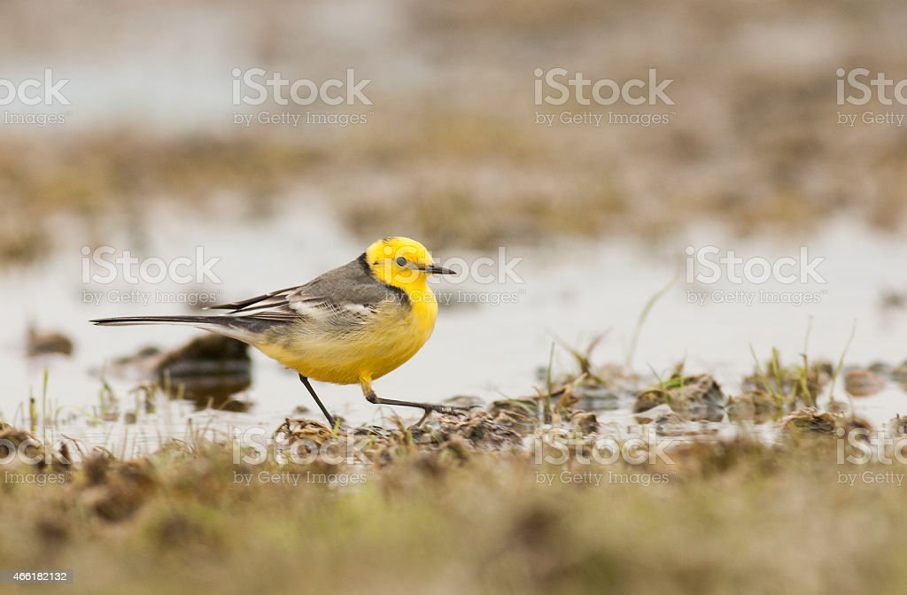 Citrin Wagtail stock photo