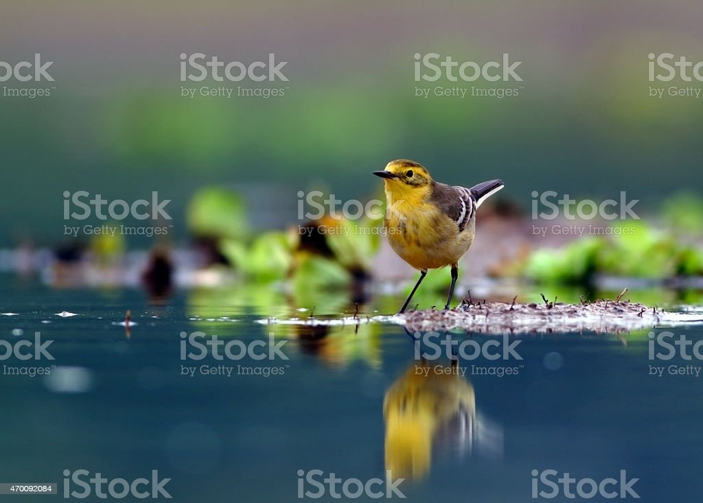 Citrine wagtail stock photo