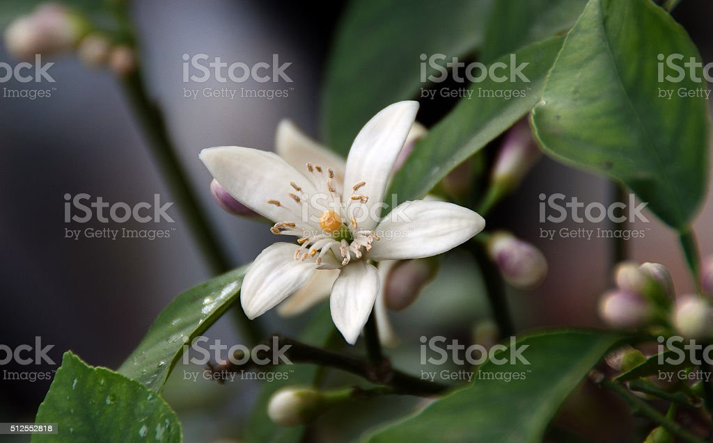citrofortumela micropara stock photo