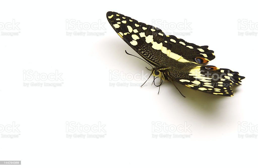 Citrus Butterfly (TRC) royalty-free stock photo