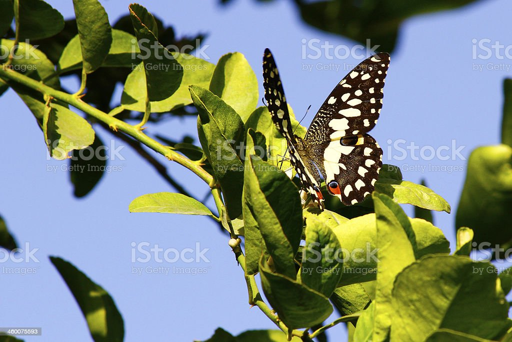 Citrus Butterfly stock photo