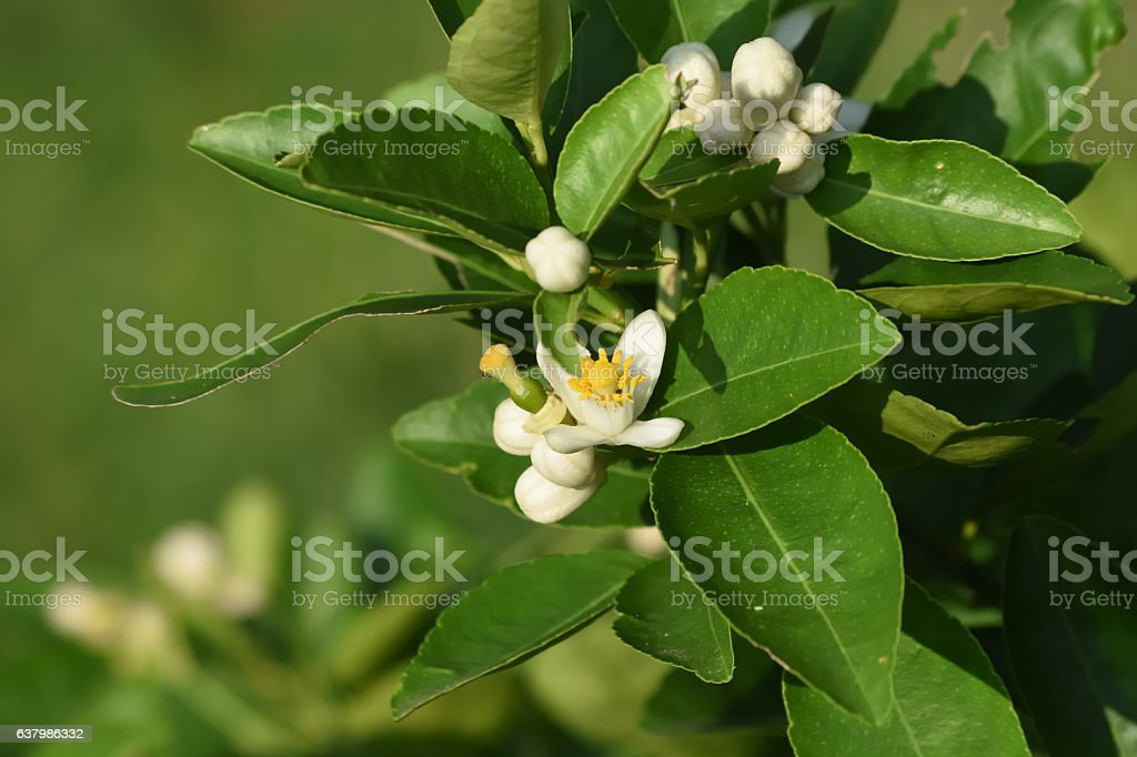 citrus flowers blossom in the garden stock photo