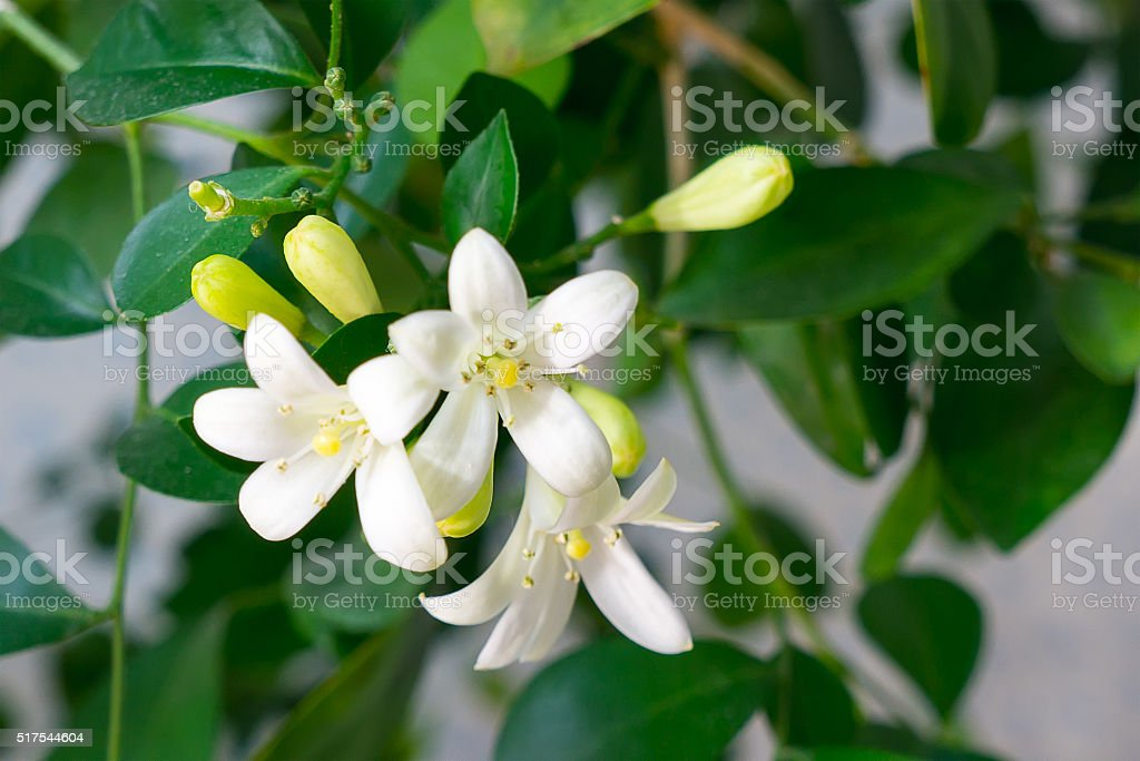 Citrus de Flores foto de stock royalty-free