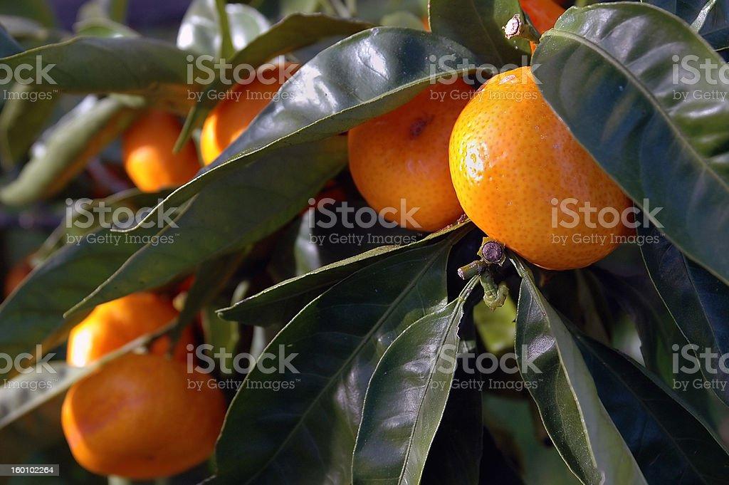 Citrus Fruit on the tree royalty-free stock photo