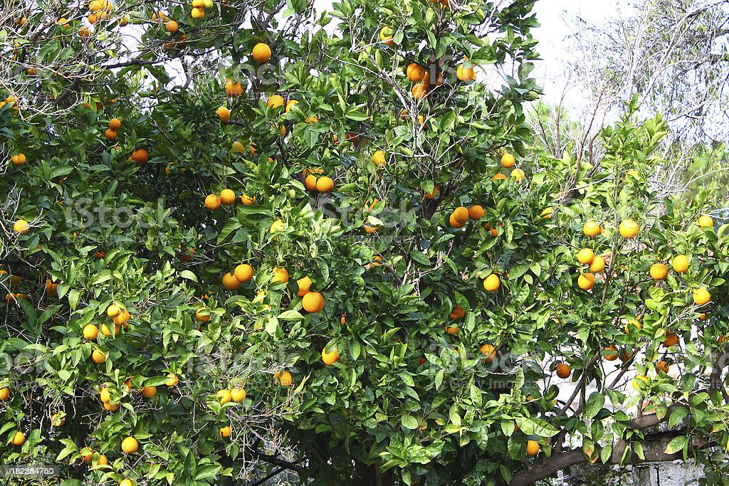 Citrus Fruit Trees royalty-free stock photo