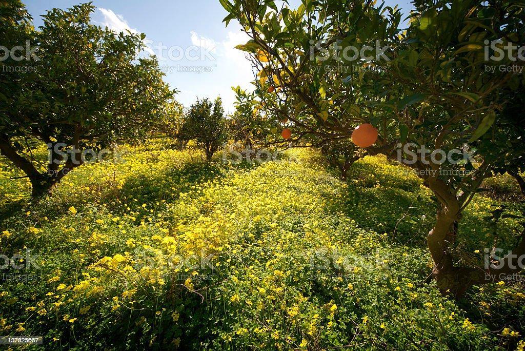 Citrus grove royalty-free stock photo