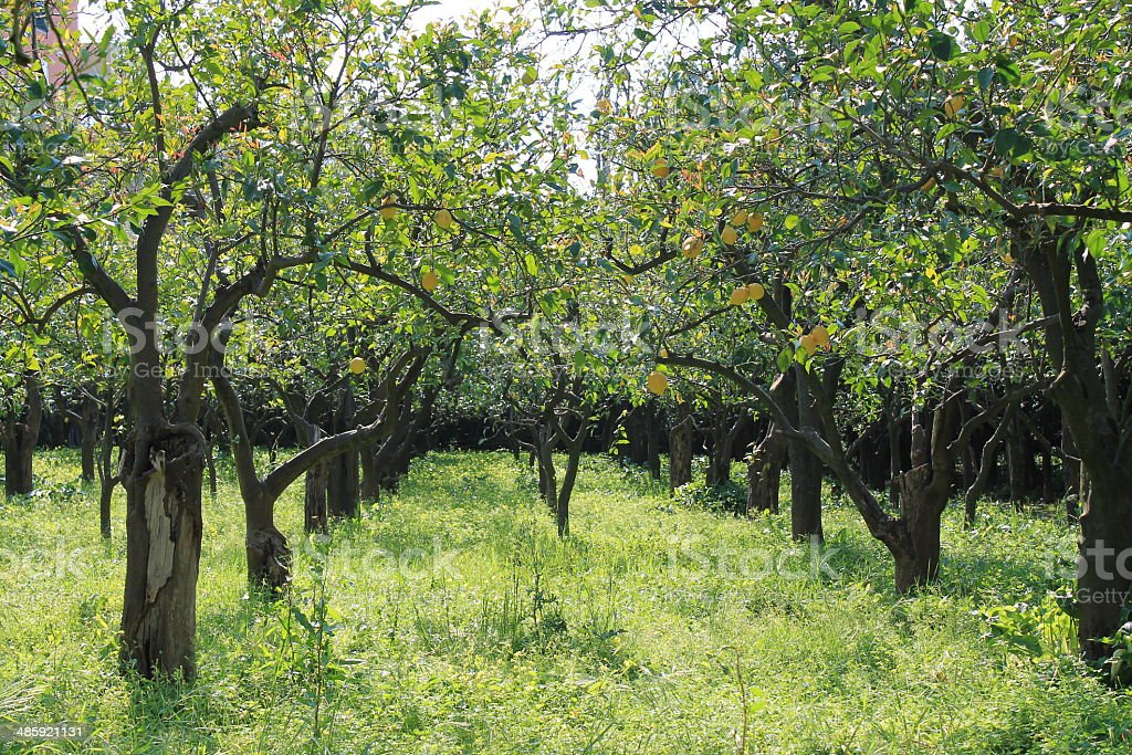 Citrus Grove stock photo