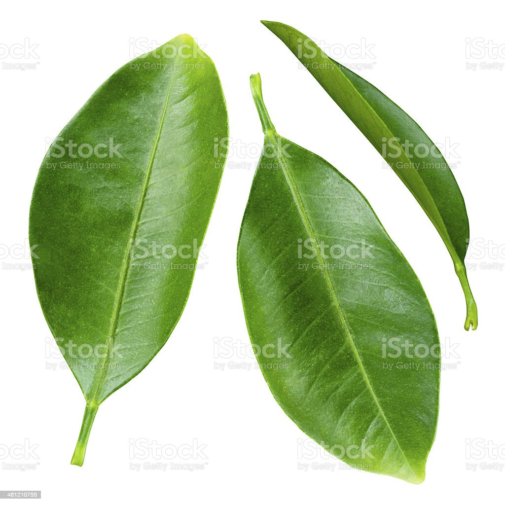 Citrus leaves isolated on a white background stock photo