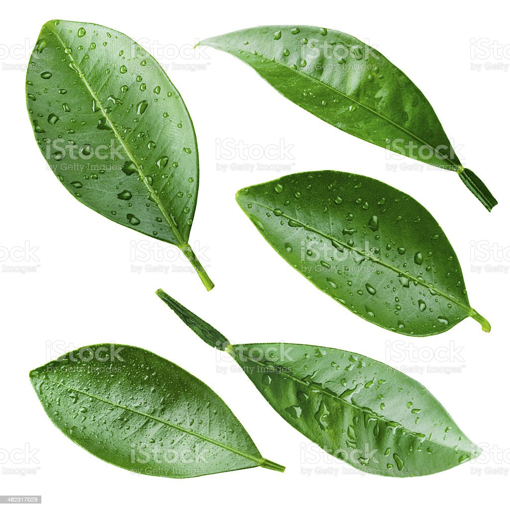 Citrus leaves with drops isolated on white. Collection stock photo