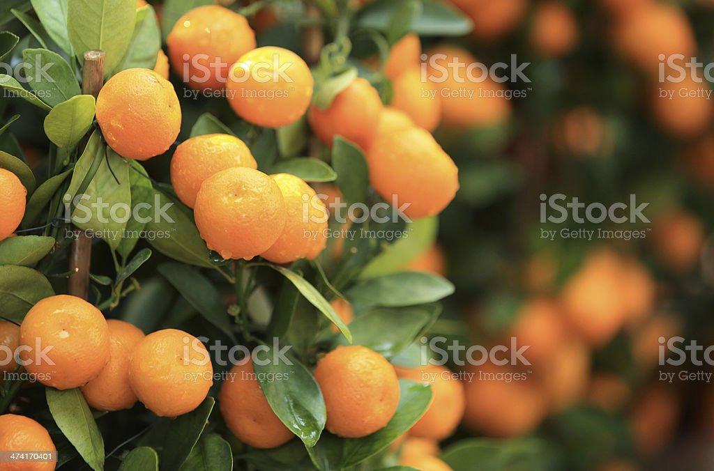 citrus oranges grow on tree stock photo