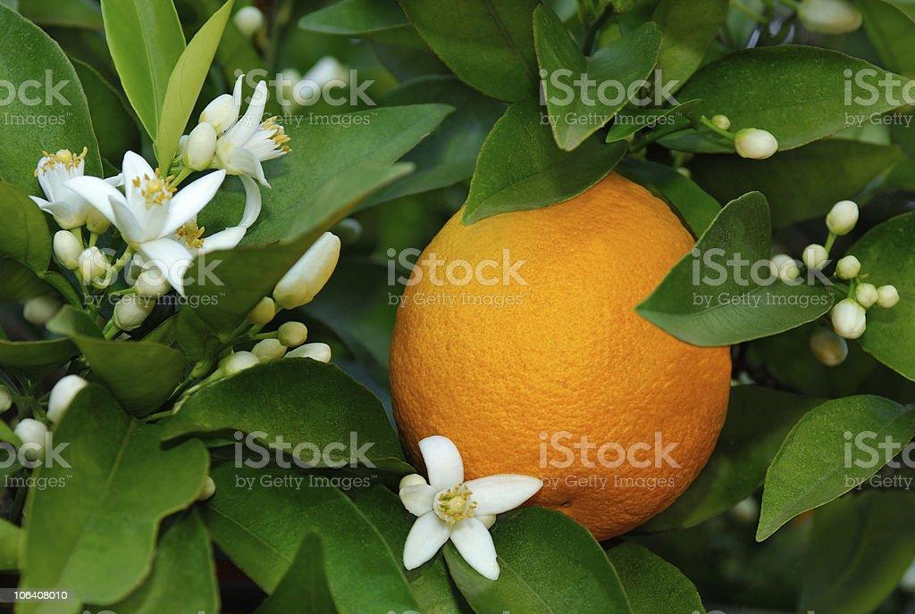 Citrus sinensis orange with white blossoms stock photo