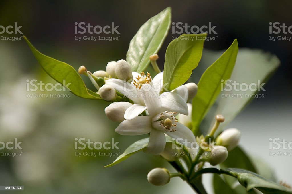 Citrus Sinensis / Sweet Orange Flower stock photo