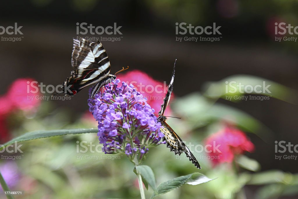 Citrus Swallowtail Butterflies stock photo