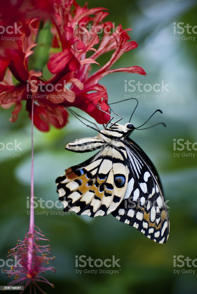 Citrus Swallowtail Butterfly Feeding stock photo