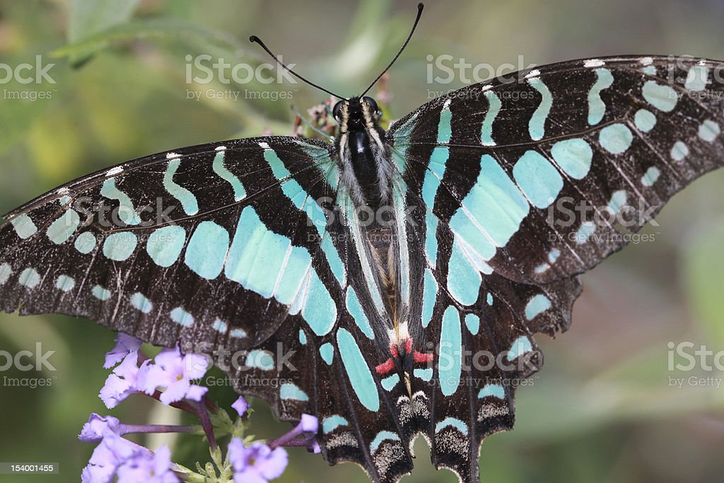 Citrus Swallowtail Butterfly stock photo
