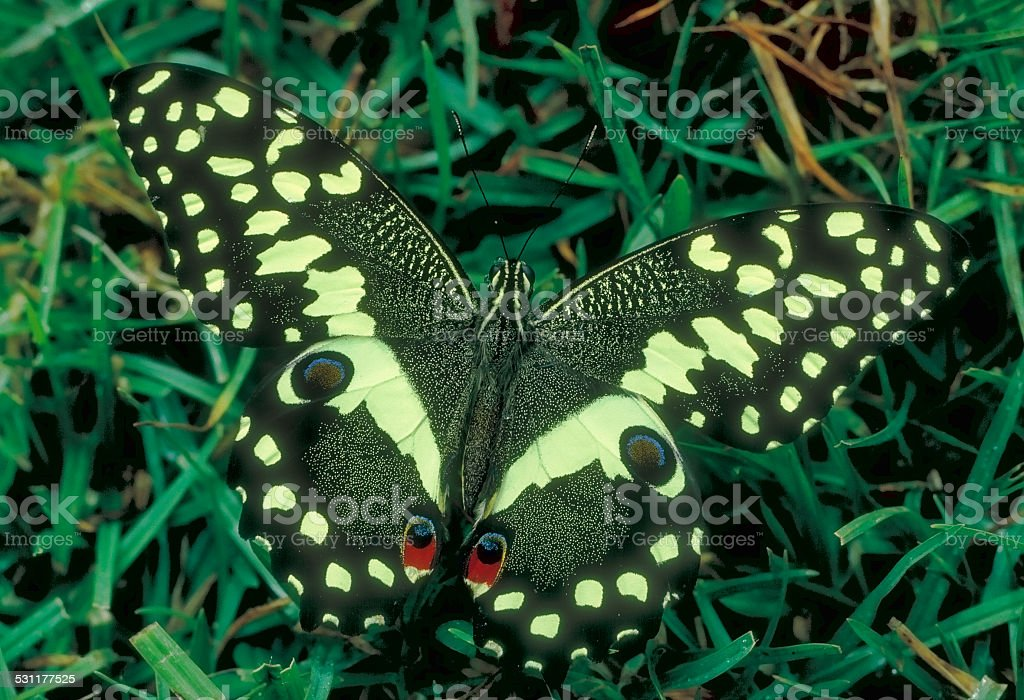 Citrus swallowtail butterfly Papilio demodocus on Mount Kenya stock photo