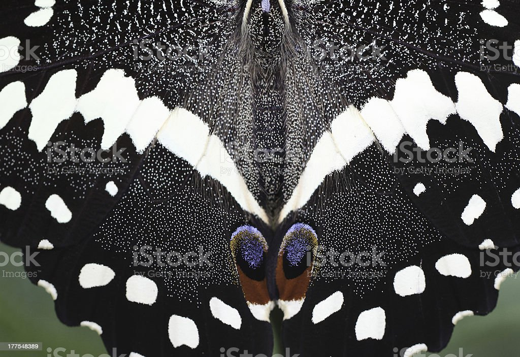 Citrus Swallowtail Butterfly Wings (LXXX) stock photo