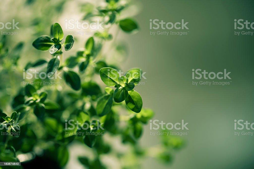 Citrus thyme stock photo