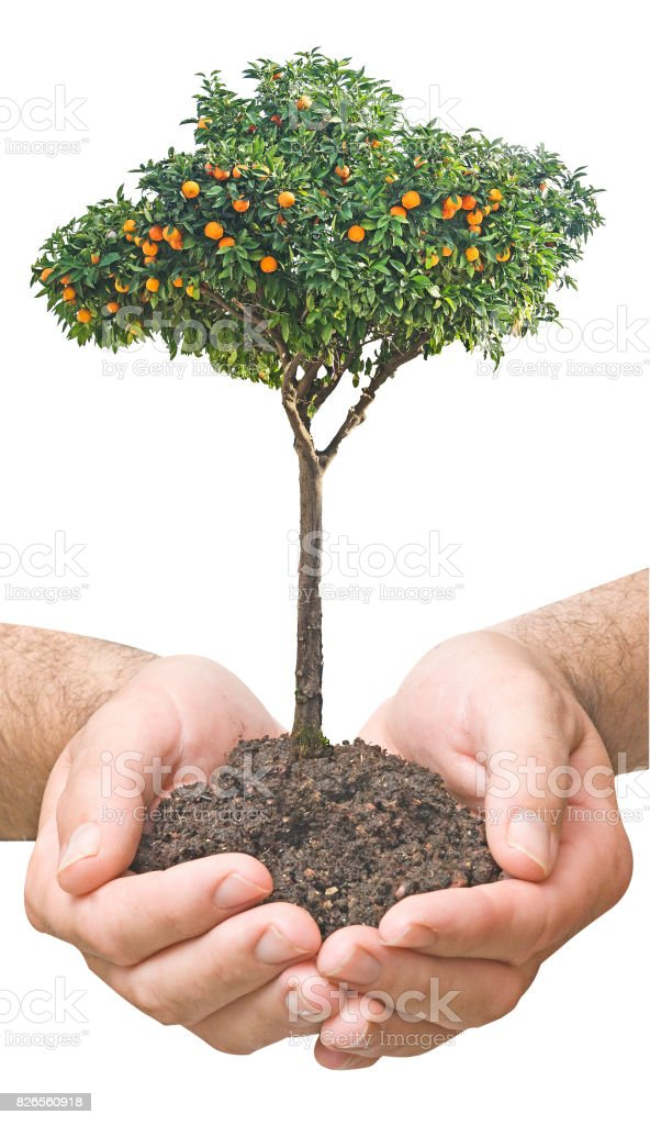 citrus tree in hands stock photo