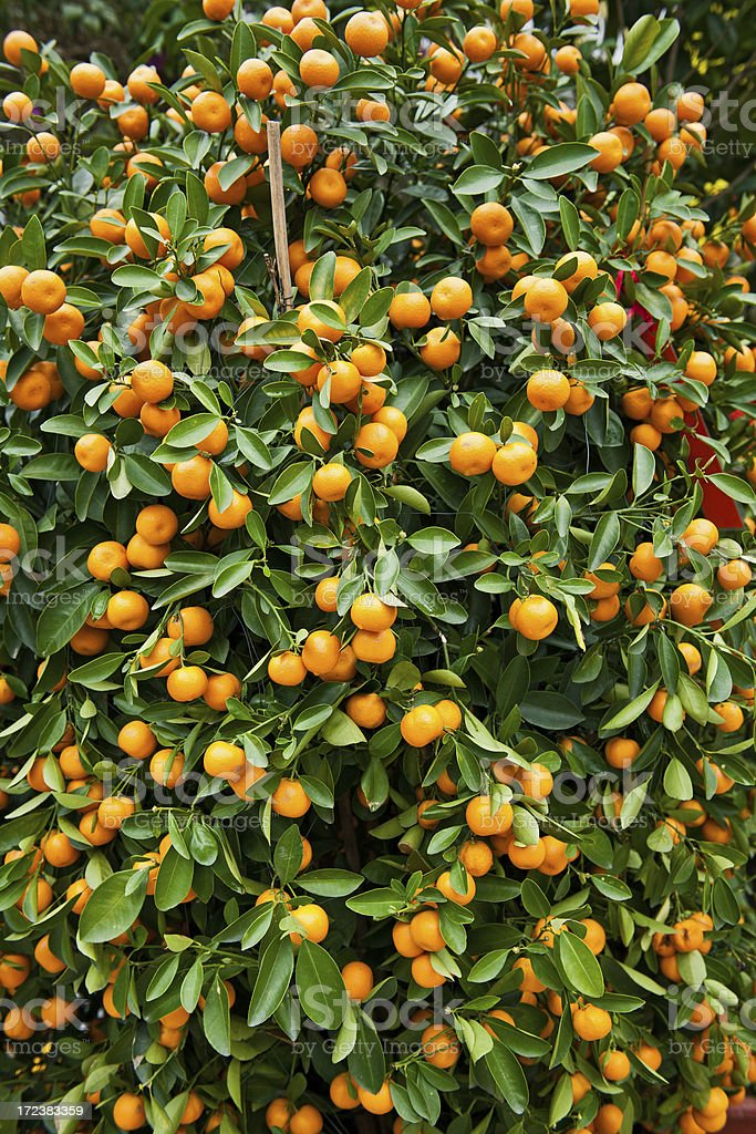 Citrus Tree in Hong Kong China royalty-free stock photo