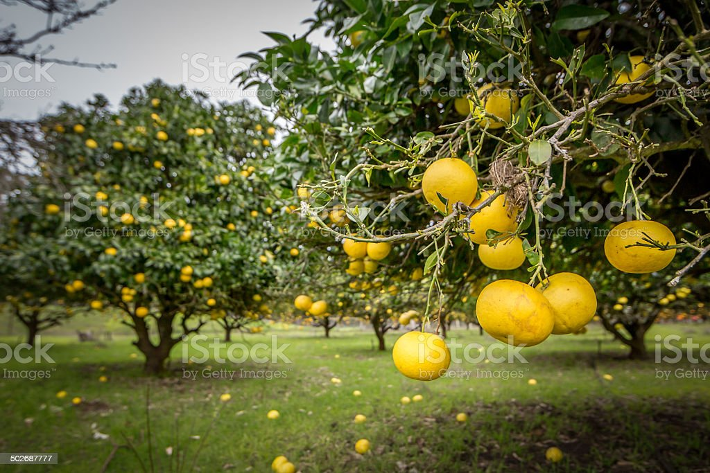 Citrus trees at Cambray Cheese Factory Orchard stock photo