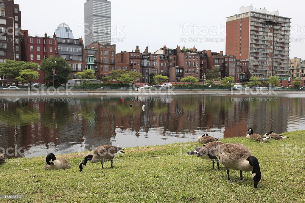 City Goose royalty-free stock photo