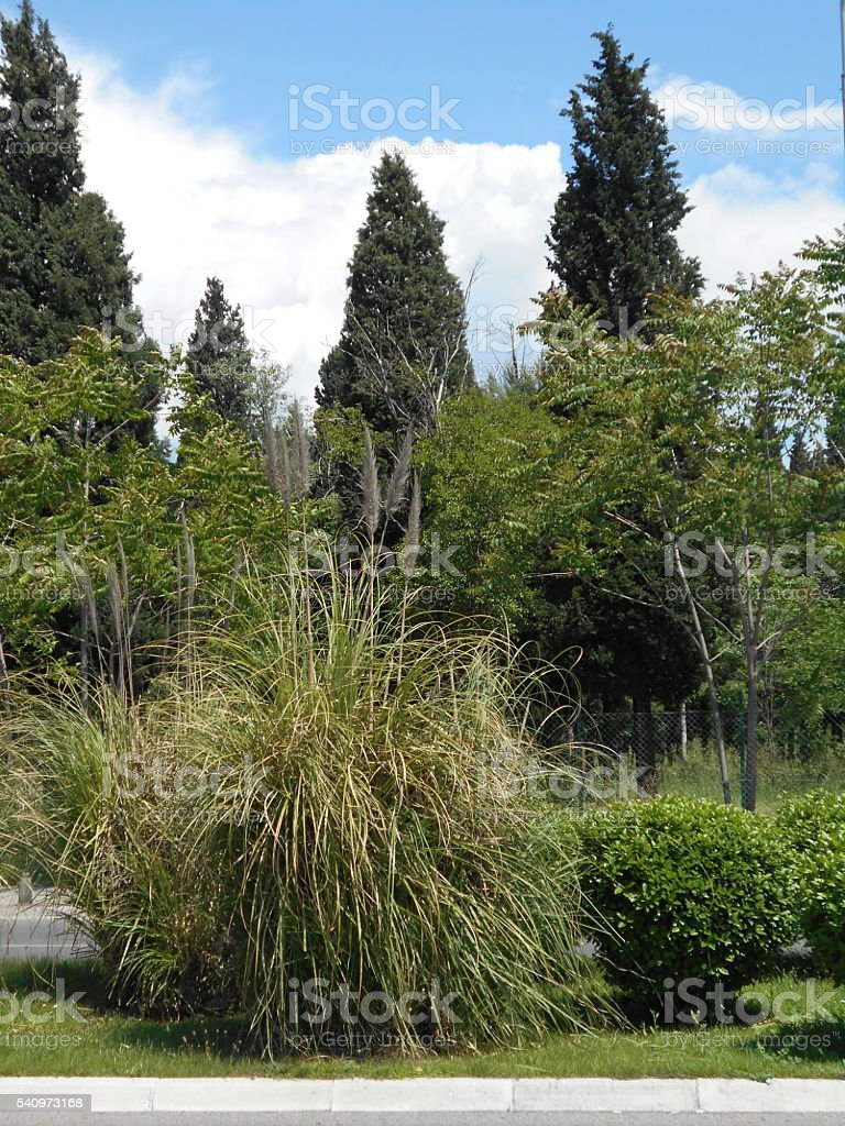 City park with Italian cypress, Boxwood and Pampas grass stock photo