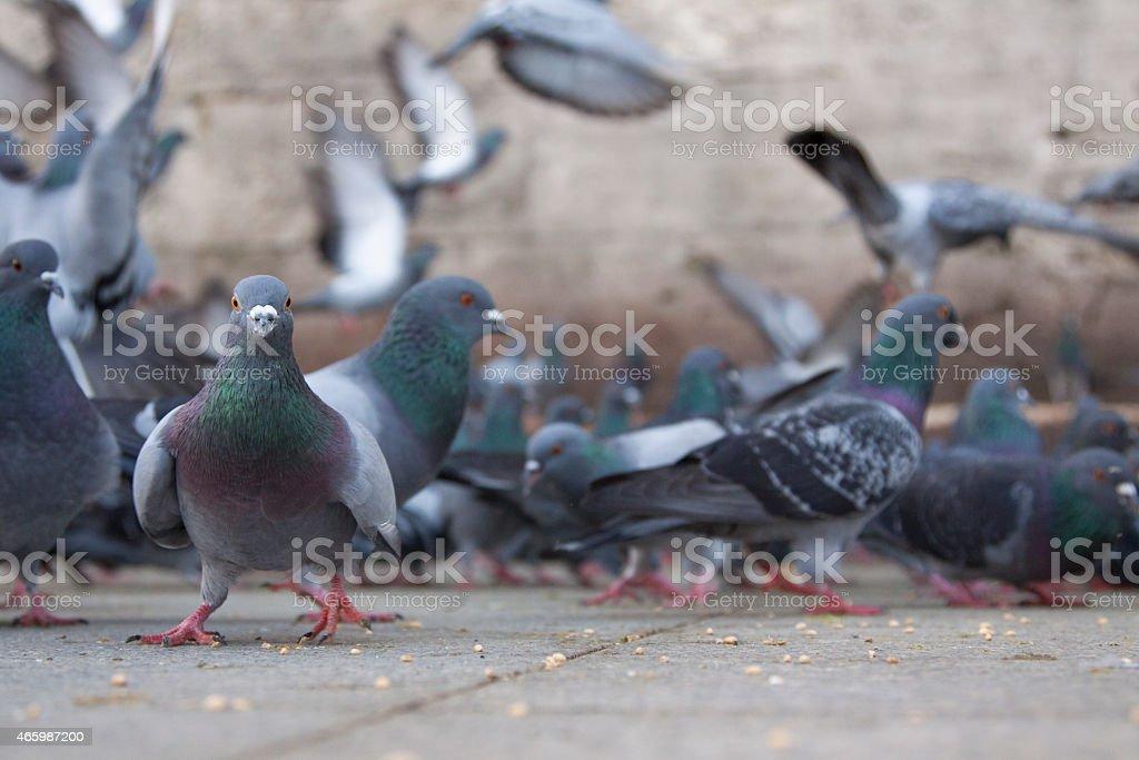 City Pigeons stock photo