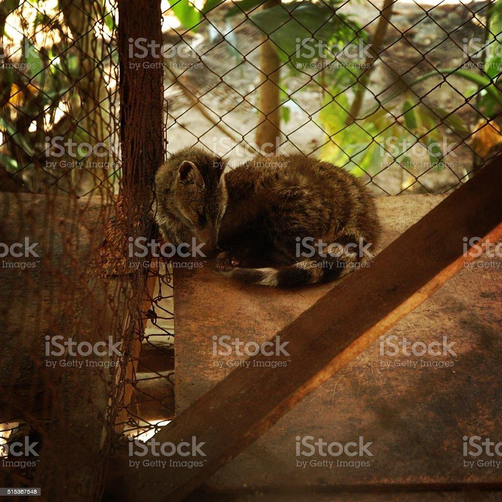 Civet Cat stock photo