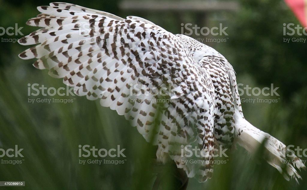 Civetta delle nevi  - Bubo Scandiacus - Snowy Owl stock photo